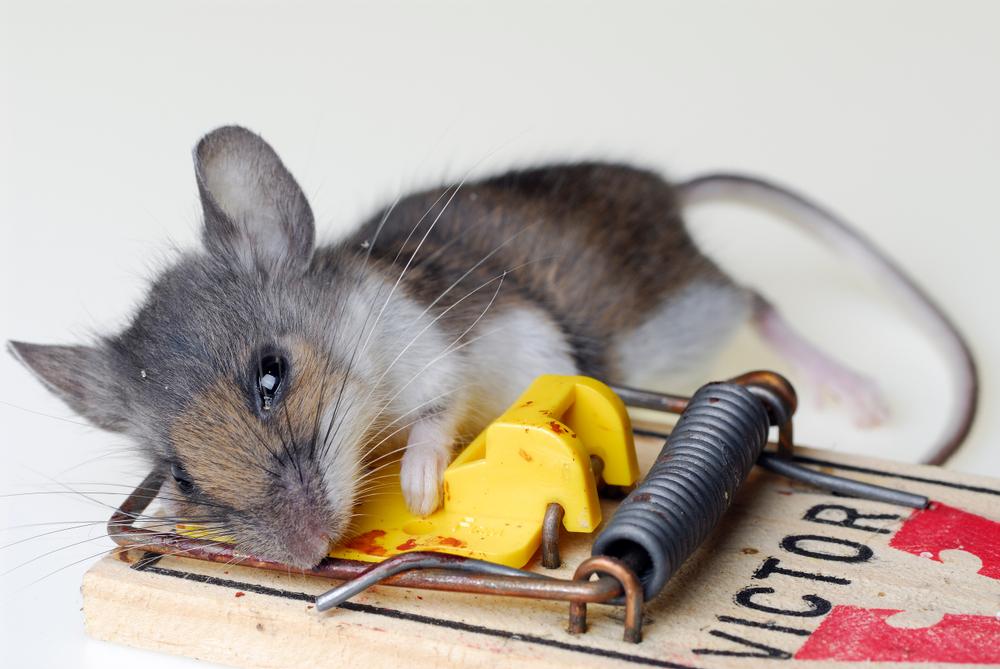 Pasca na myši? Ako sa ich jednoducho zbaviť?