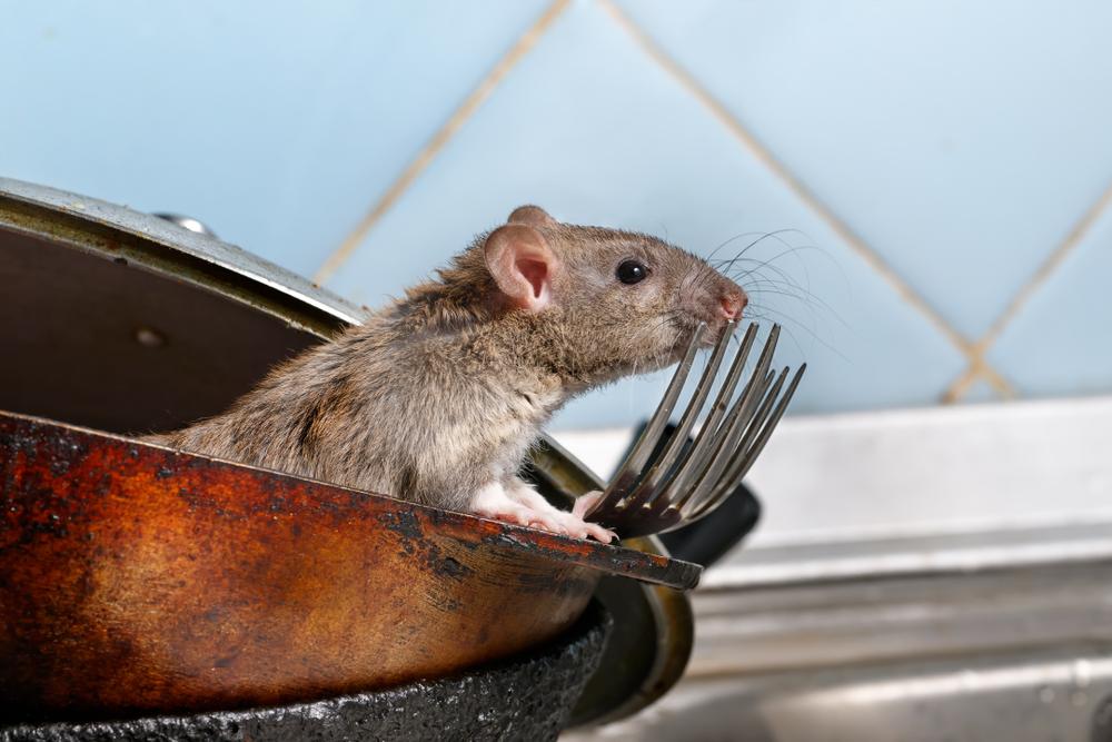 Zaručený spôsob, ako sa zbaviť potkanov