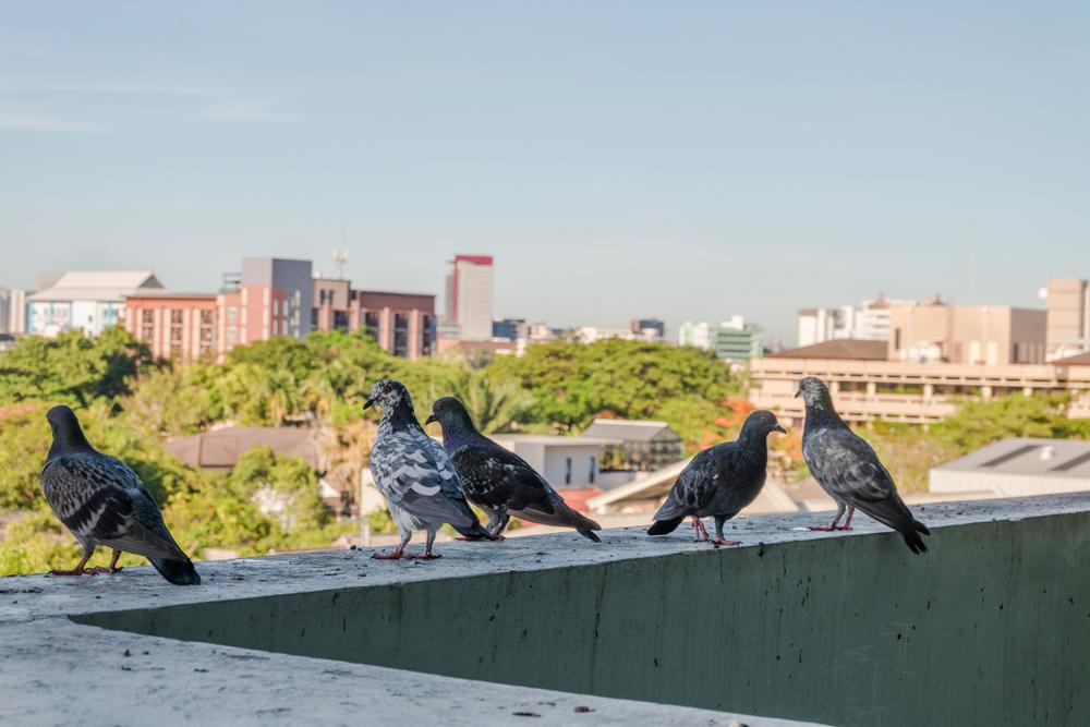 Holuby na balkóne. Ako sa ich zbaviť?