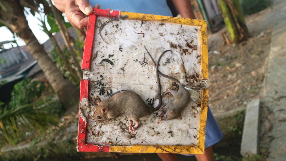 Lepové pasce na myši apotkany